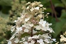 Hortensja bukietowa Unique Hydrangea paniculata      Dekoracyjny krzew o wypr...