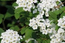 Tawuła van Houtte'a Spiraea vanhouttei Kwiaty Tawuły białej van Houtte'a są białe, zebrane w gęste kwiatostany pokrywają całkowicie pędy. Tawuła polecana do sadzenia p...