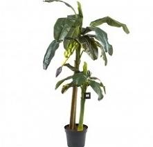 Bananowiec 180 cm idealnie sprawdzi się w przestronnych pomieszczeniach. Sztuczna, egzotyczna roślina to idealna dekoracja do zimowych ogrodów, sal bankietowych, czy konferencyj...