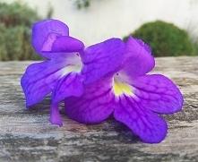 Streptocarpus #streptocarpussaxorum #streptocarpushybrid #streptocarpus #viol...