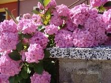 Jedyne w swoim rodzaju hortensje od wielu lat zdobią nasze ogrody efektownymi...