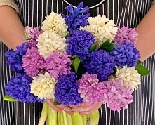 Hyacinthus grows from bulbs...