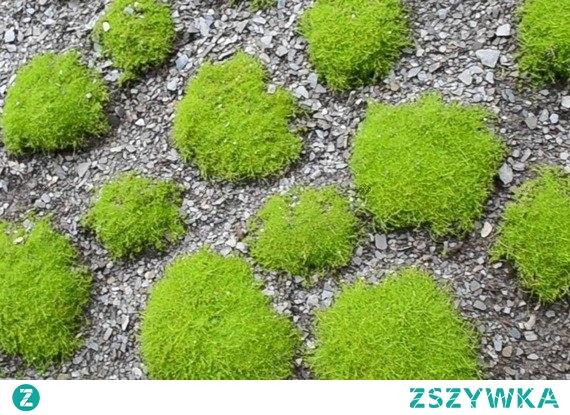 Karmnik ościsty Sagina subulata Nadzwyczaj piękna roślina okrywowa, którą często wykorzystuje się np. do zadarniania.