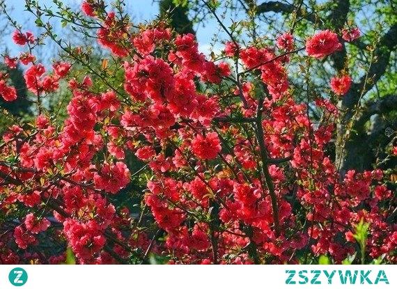 Pigwowiec pośredni Red Trail Chaenomeles superba      Krzew o ciernistych pędach wyróżniający się kwiatami w kolorze intensywnej czerwieni. Pigwowiec Red Trail cechują duże jadalne owoce. Krzew nadaje się do tworzenia żywopłotów - można formować i przycinać. Pasuje do ogródków skalnych i zieleni miejskiej.