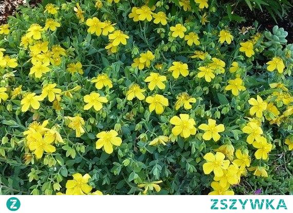 Dziurawiec gęstokwiatowy Buttercup Hypericum densiflorum      Dziurawiec gęstokwiatowy Buttercup, jego pokrój jest kulisty, a także mocno zwarty. Pięknie zdobi każde ogród, szczególnie w porze kwitnienia.