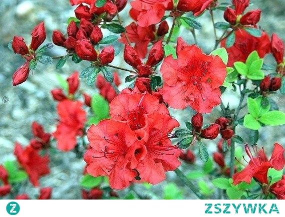 Azalia japońska Lola Rhododendron obtusum      Dekoracyjna odmiana azalii o intensywnie czerwonych kwiatach zebranych w piękne, duże kwiatostany o niezwykle intensywnym zapachu. Azalia japońska Lola jest bardzo łatwa w uprawie. Jest wspaniałą ozdobą wiosennych ogrodów. To roślina mrozoodporna.