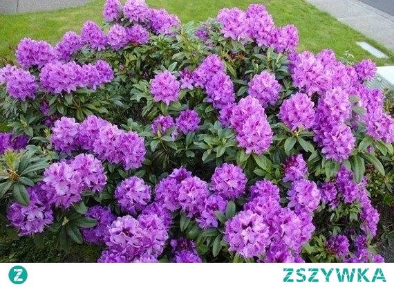 Różanecznik Anah Kruschke Rhododendron  Piękny krzew o zimozielonych liściach i ozdobnych kwiatach.
