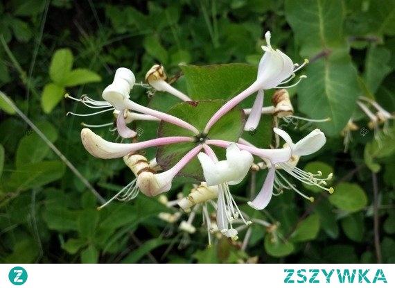 Wiciokrzew przewiercień Lonicera caprifolium Pnącze mało wymagające i łatwe w uprawie. Wiciokrzew przewiercień kwitnie kremowymi kwiatami, które zachwycają bardzo intensywnym, słodkim, waniliowym zapachem. To sprawia, że sprawdza się jako dekoracja zarówno ogrodów jak i tarasów i balkonów.