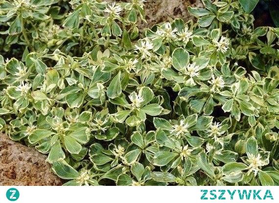 Runianka japońska Variegata Pachysandra terminalis Runianka japońska Variegata posiada błyszczące, zielone z białym obrzeżeniem liście i drobne kwiaty koloru białego. Kwiaty mają kształt kłosowaty. Najbardziej mile widzianym miejscem dla runianki są ogrody przydomowe.