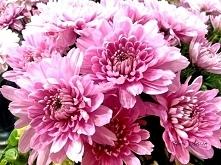 Chrysanthemums sometimes ca...