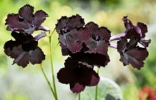 SKRETNIK - BLACK  Black Str...