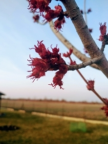 Klon czerwony Acer rubrum &...