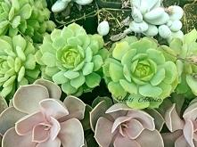 Eszeweria to atrakcyjny sukulent z Meksyku. Kaktusy i sukulenty na stałe zagościły w mieszkaniach ciesząc właścicieli swoim pięknem.