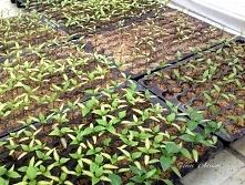 Seedling of pepper plants i...