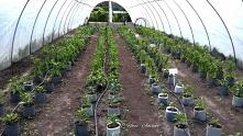 Pepper plants grown in a pl...