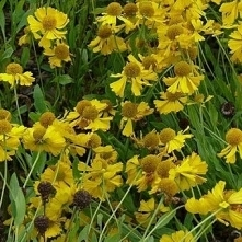 Dzielżan ogrodowy Pumilum Magnificum 40-90 cm
