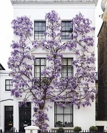Kwitnąca wisteria w Londynie.