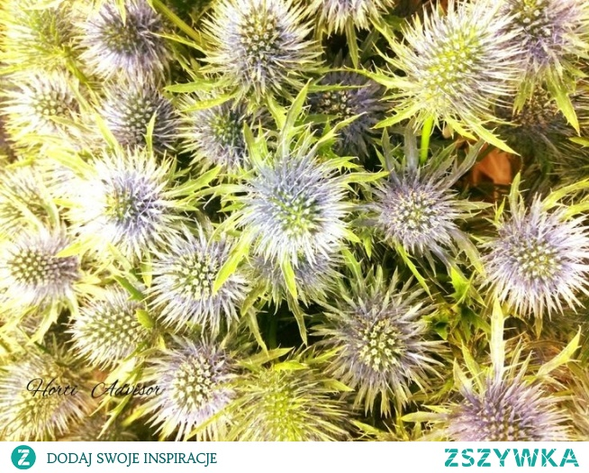 Eryngium - Although this ornamental plant is not demanding in cultivation, it is worth paying more attention to it. His inflorescence is a wonderful addition to bouquets. It dries perfectly and is characterized by high durability.