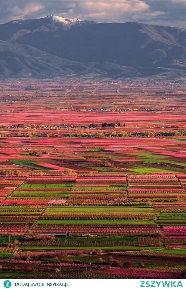 Kwitną brzoskwinie.