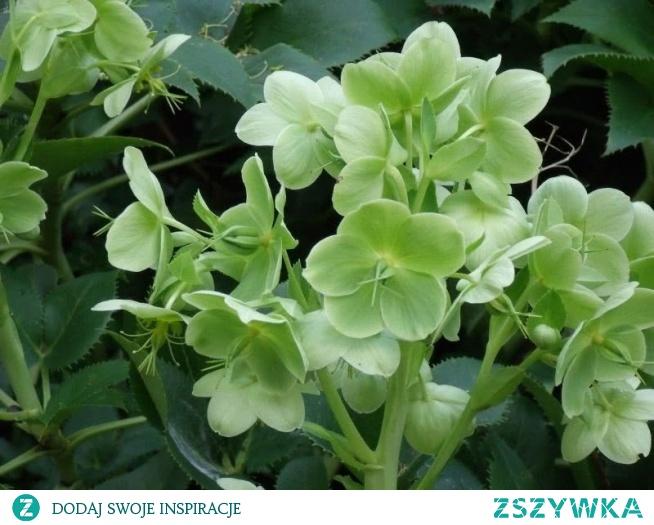 Ciemiernik zielony Helleborus viridis u mnie są seledynowe kwiaty