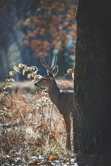 Samiec jelenia w Yosemite V...