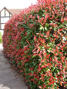 Red Robin photinia