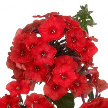 Phlox paniculata Flame Red