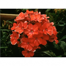 Phlox paniculata Orange Per...