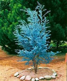 Mrozoodporny eukaliptus