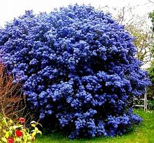 niebieski-zimozielony-prusz...