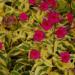 Phlox paniculata Goldmine Imp