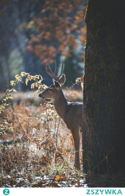 Samiec jelenia w Yosemite Valley w Kalifornii