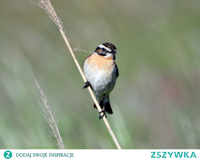Pokląskwa, (Saxicola rubetra)
