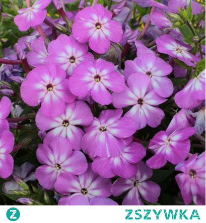 Phlox paniculata Flame Pro Violet Charm