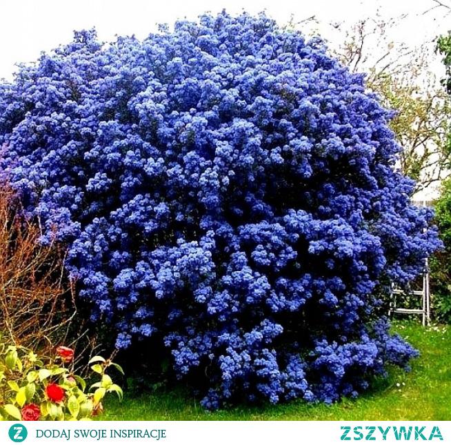 niebieski-zimozielony-prusznik-victoria