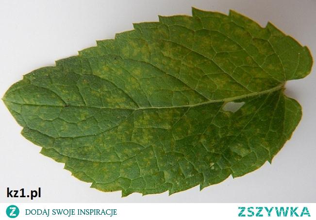 Od czego robią się żółte plamy na liściach mięty?