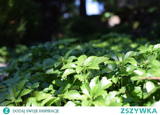 runianka japońska - Pachysandra terminalis \ Rośliny do suchego cienia, czyli rabata pod drzewami
