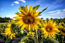 Przychodzi baba na pole słoneczników… to kolejna część przygód fotografa z płcią piękną, choć w tym przypadku nie tylko. Miejscem wydarzeń jest malownicze pole słoneczników w ok...