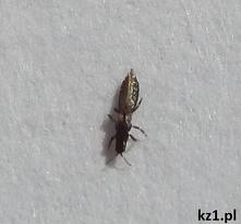 Przecinki - co to za owady?