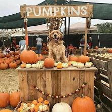 #dog #pumpkins
