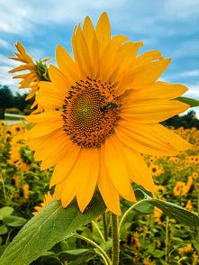 Piękne wspomnienia lata, uwielbiam . . ig => @nieidentyczna #słoneczniki #lato