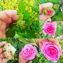 #kwiat#róża#piekny świat#
