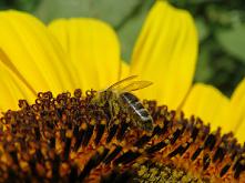 #pszczoła#slonecznik#