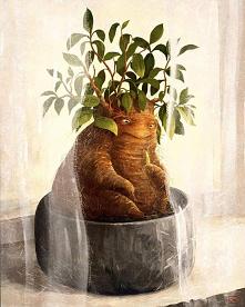 #adenium #grubasek #roślinka