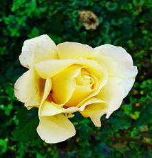 #róża#kwiat#piekna#