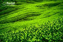 Liście krzewu herbacianego