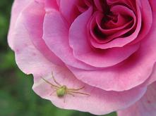 #pająk#róża#przyroda#