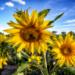 Przychodzi baba na pole słoneczników… to kolejna część przygód fotografa z płcią piękną, choć w tym przypadku nie tylko. Miejscem wydarzeń jest malownicze pole słoneczników w okolicach Poznania.
