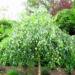 Najpiekniejsze brzozy Rodzaje i odmiany