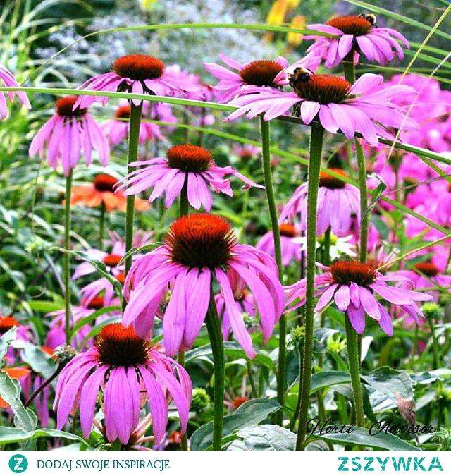 Większa dawka ogrodowych inspiracji jest dostępna na moim profilu Horti Advisor. Jeśli tak jak ja kochasz rośliny zapraszam Cię do jej odwiedzenia i być może obserwowania :) Dzięki za zainteresowanie i do zobaczenia !